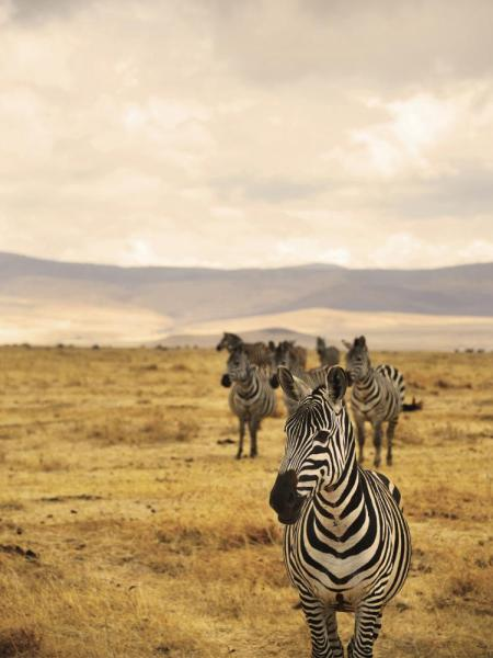 Black and white zebras dot the landscape in Africa