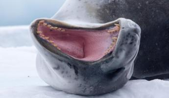 Another picture of a leopard seal.