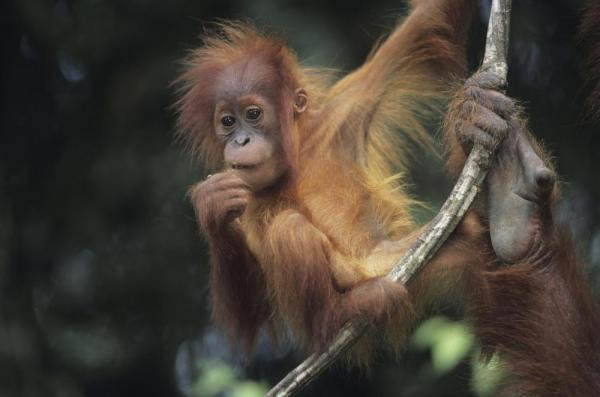 Orangutan hanging out in Indonesia