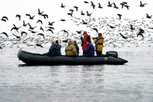 Zodiac cruises are surrounded by a flock of Auklets