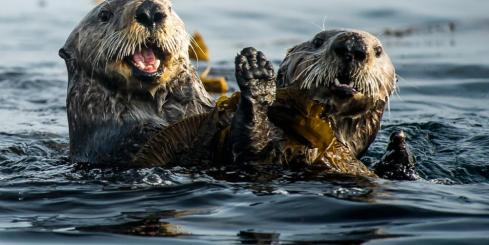 Sea Otters play in the water