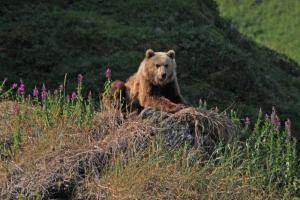 The Kamchatka Brown Bear is a unique subspecies found only in the Russia Far East