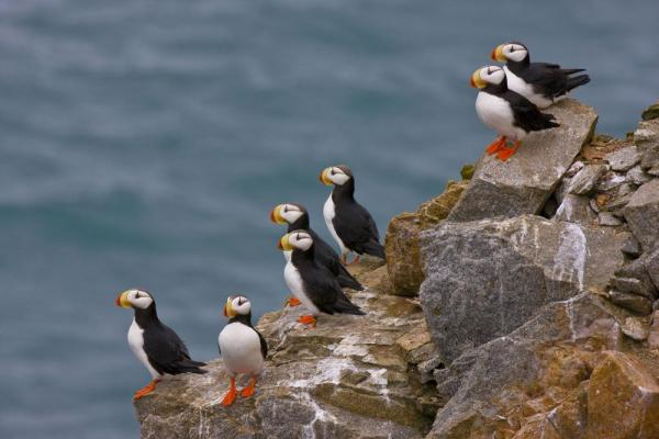 Horned Puffins look out onto the sea