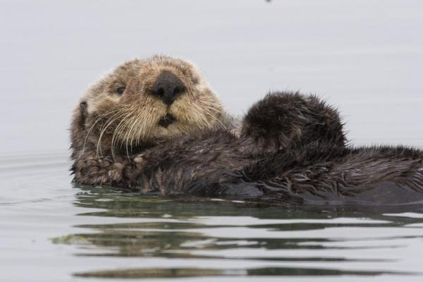 A Sea Otter swims on his back