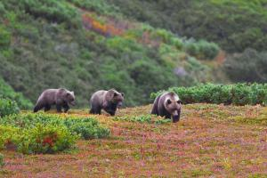 Kamchatka brown bears lumber by in the Russian Far East