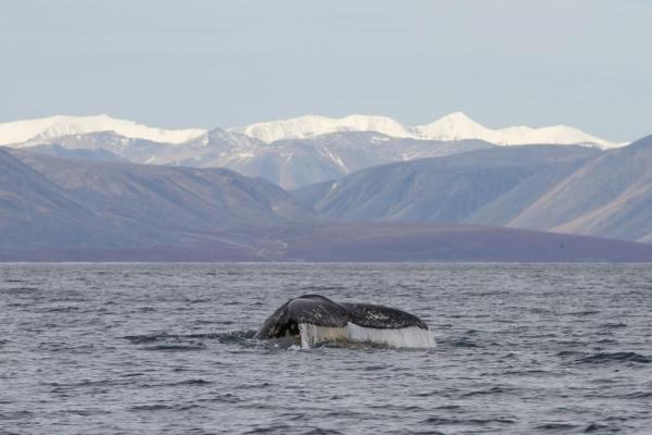 Whalewatching off the Chukotka Peninsula