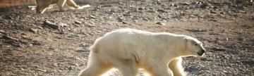 Polar Bears freely roam the Russian Far East