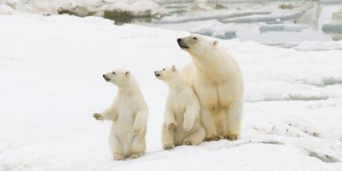 A polar bear family looks out across the Russian Arctic