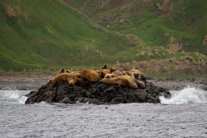Marine mammals lounge along the coast of the Commander Islands