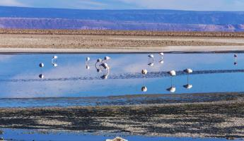 Flamingos in the lagoons of the Atacama Desert