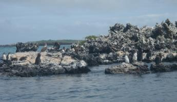 Galapagos penguins... look closely
