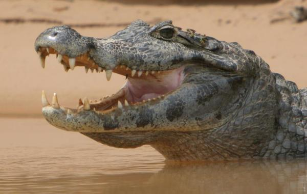 A crocodile raises its head from the river