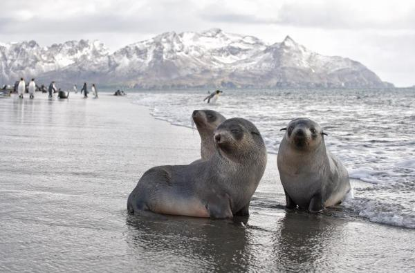 Fur seal paradise in Antarctica