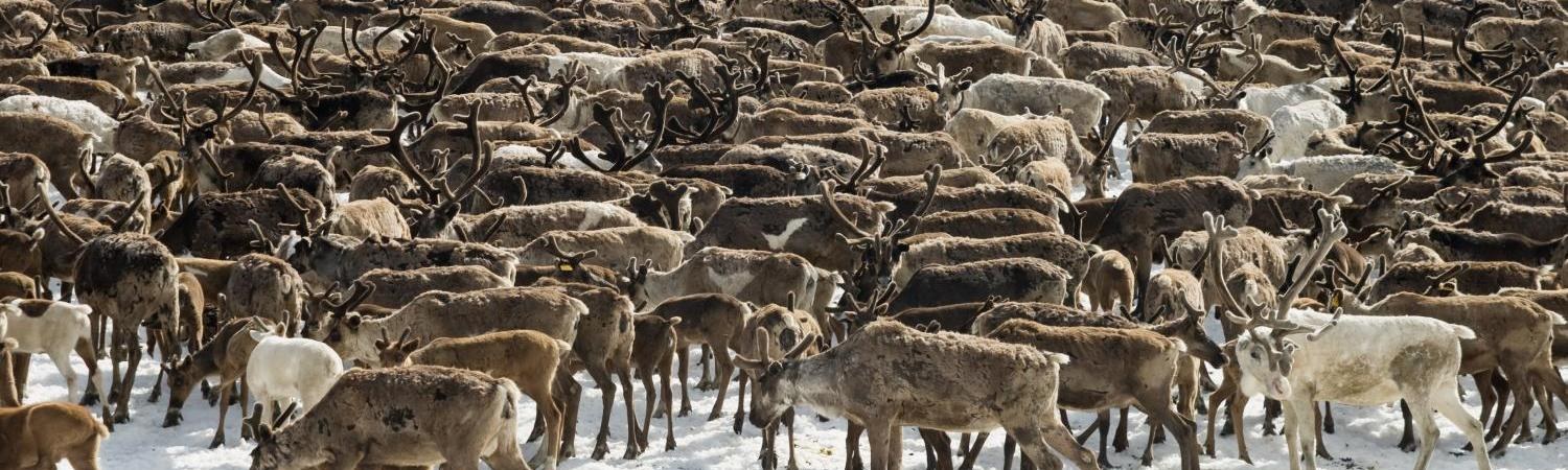 Herd of Arctic reindeer