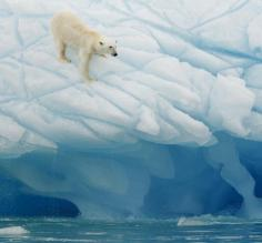 Polar bear balances on the ice in the Arctic