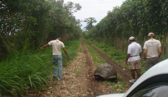 Giant tortoise in the road on the way to El Chato