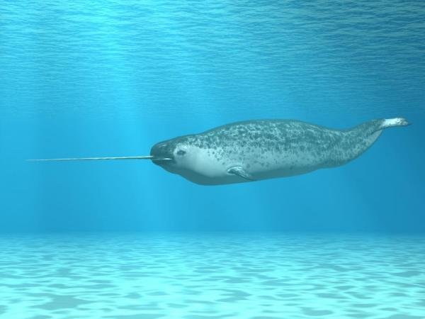 The elusive narwhal in the Arctic