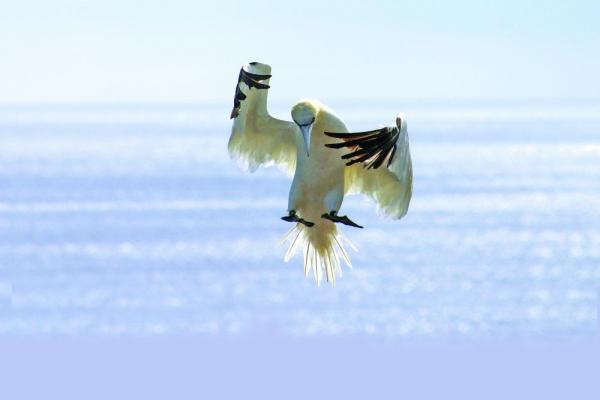 A Gannet making its landing