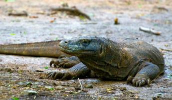 A komodo dragon rests on the shore