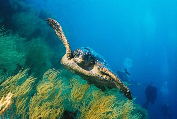 Sea turtle swimming with snorkelers