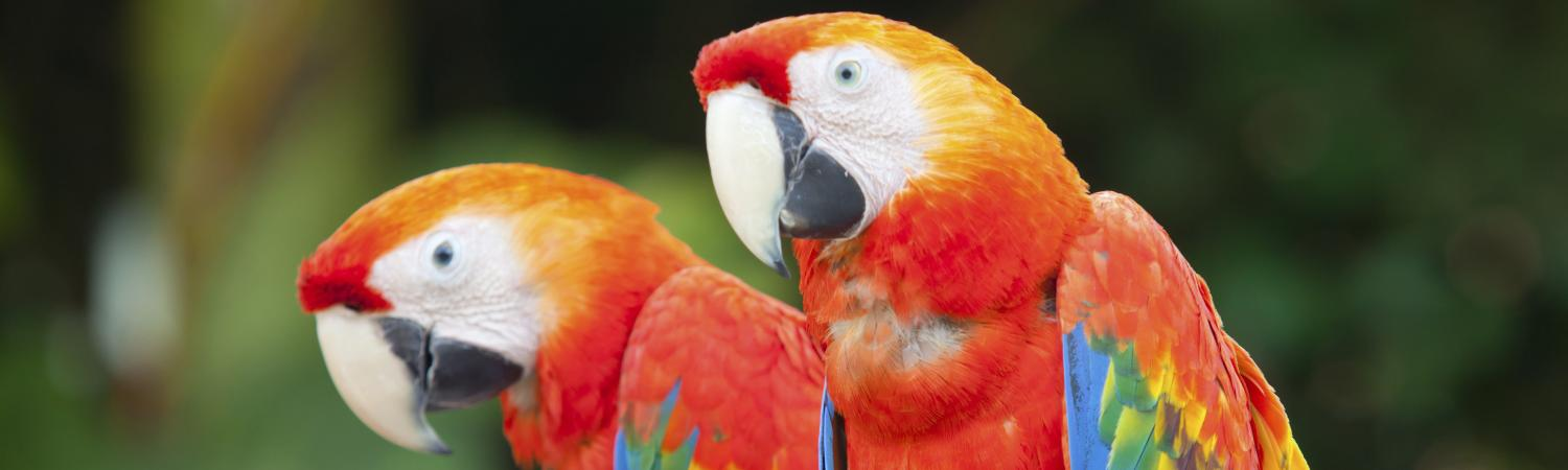 Macaws in the Amazon