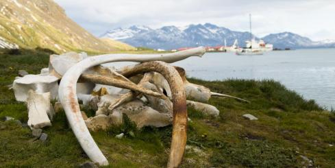 Whale bones at the Grytviken whaling station