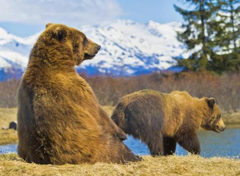 Kodiak bears in Alaska