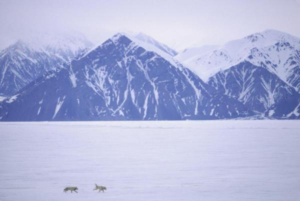 Sled dogs on Baffin Island, Canada