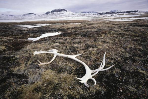 Caribou antler laying on ground of Baffin Island