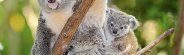 Australian koala bear with baby joey in eucalyptus tree