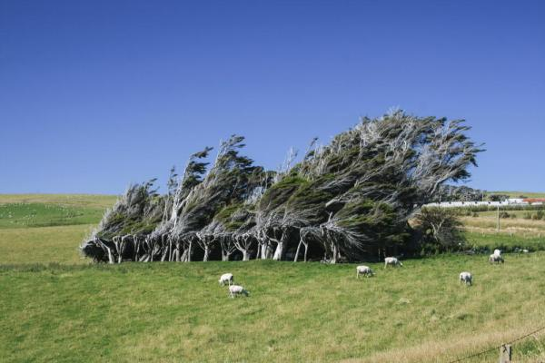Windblown trees and sheep