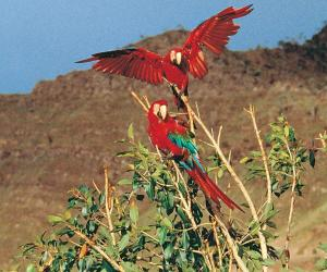 Visit largest parrot and macaw clay lick in the 4.4 million acre Manu Biosphere Reserve