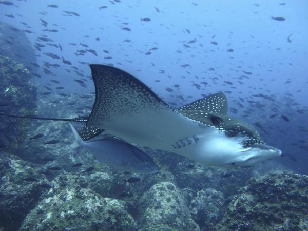 Ray swimming in the Galapagos