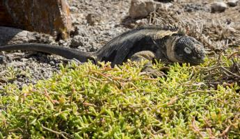 A land iguana on South Plaza