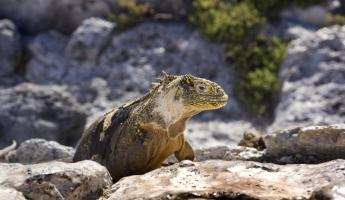 A South Plaza land iguana