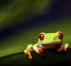 Red-eyed tree frog on leaf