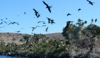 Frigate birds on Espiritu Island