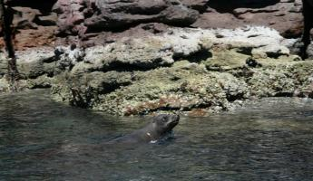 Snorkeling with sea lions in the Sea of Cortez