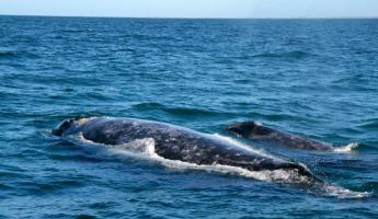 Mother and baby whale in Magdalena Bay