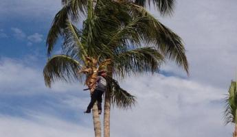 Cleaning up the palm trees in Mexico