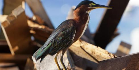 A green heron found in the Caribbean