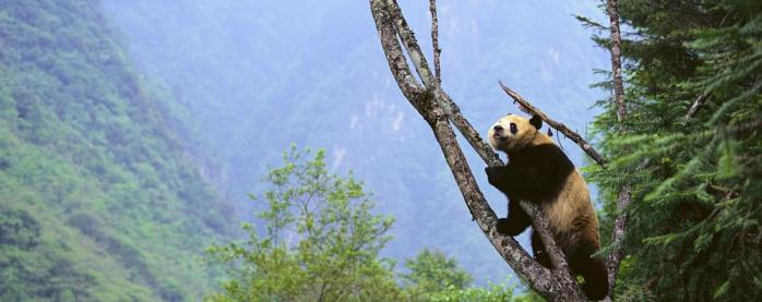 The iconic panda bear climbing a tree in the wild