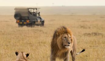 Lions and jeep on an African safari