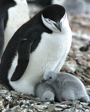 A small penguin family