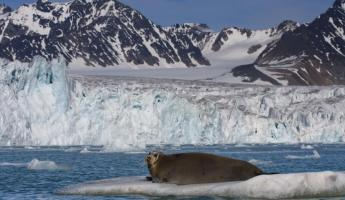 Bearded seal in Svalbard, Norway