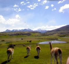 Guanacos hanging out....many many of these