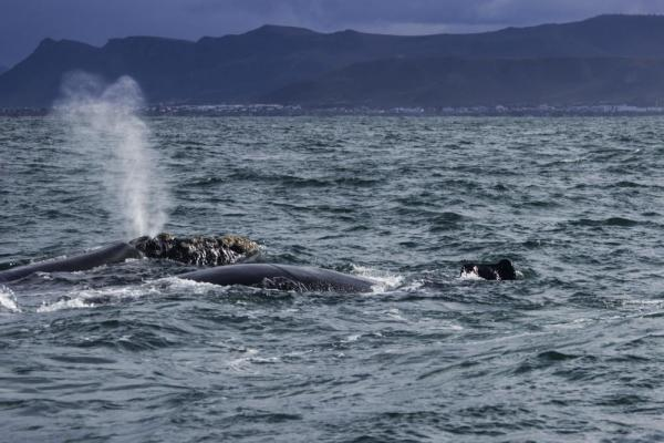 Southern Right Whales at Hermanus, South Africa