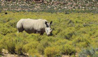 Rhino in Kruger National Park