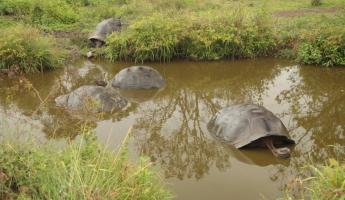 Tortoises in the highlands of the Galapagos