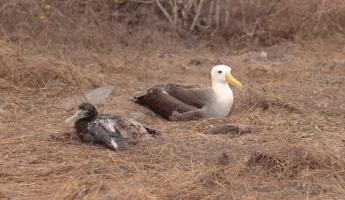 adult and chick Waved Albatross
